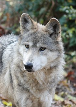 MexicanWolf CanisLupusBaileyi5.jpg