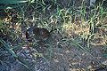 Microtus pennsylvanicus nbii h00362.jpg