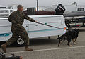 Military working dogs sink their teeth in explosive, drugs detection training 121205-M-RB277-004.jpg