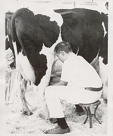 A 4-H member milks his cow, 1954.