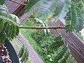 Mimosa-tenuiflora-thorns.jpg