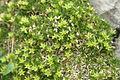 Minuartia sedoides PID1126-1.jpg