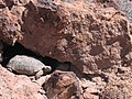 Mojave Desert Tortoise (Gopherus agassizii) (6011952561).jpg