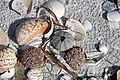 Mollusc shells & sea urchins on marine beach (Cayo Costa Island, Florida, USA) (26177503005).jpg