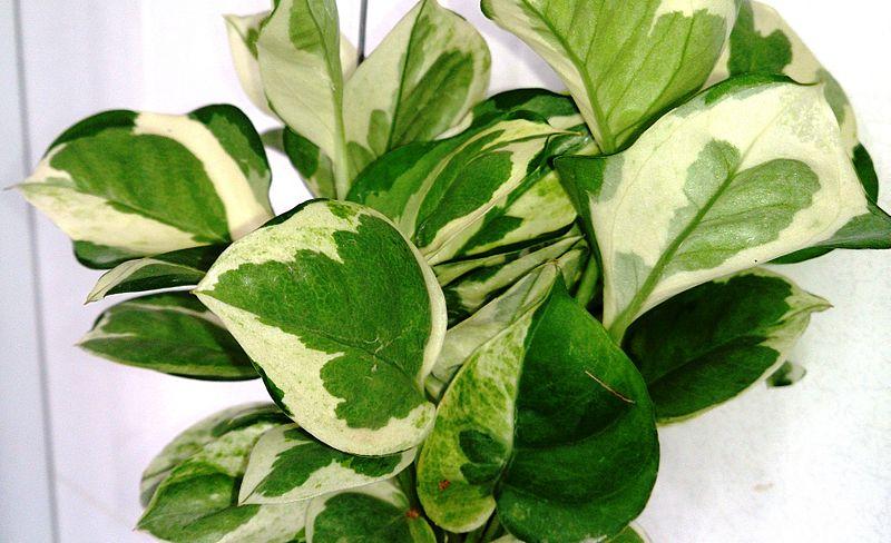 File:Money Plant (Epipremnum aureum 'N' Joy') 1.jpg