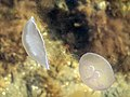 Moon jellyfishes disturbing the top water layer of Gullmarn fjord 1.jpg
