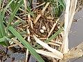 Moorhen Nest 19-05-12 (7228222032).jpg