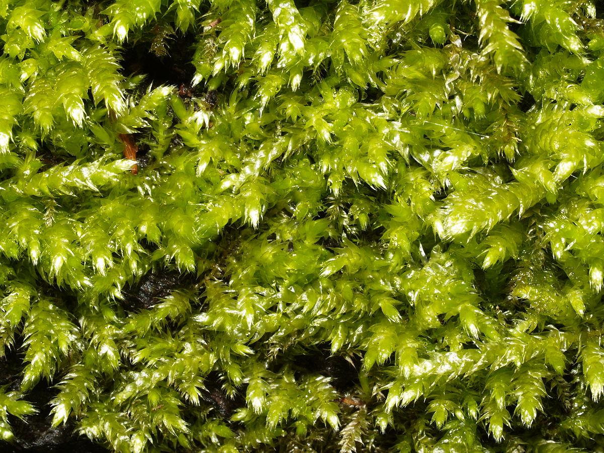 Brachythecium rutabulum - Wikispecies