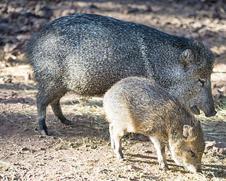 Collared peccary - Image: Mother javelina and baby