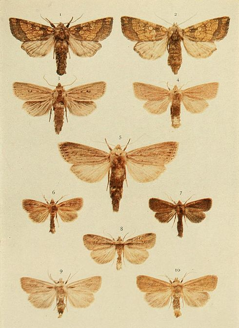 Moths of the British Isles Plate144.jpg