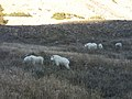 Mount Timpanogos Mountain Goats - panoramio.jpg