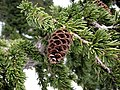 MountainHemlock 0965.jpg