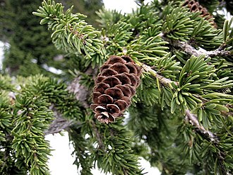 Cascades (ecoregion) - Image: Mountain Hemlock 0965