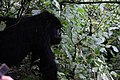 Mountain Gorillas Uganda Africa.jpg