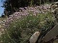 Mountain mint, Monardella odoratissima subsp. glauca (24698050157).jpg