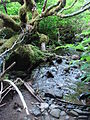 Mountain stream covered with salmonberry bushesDSC02387.JPG