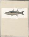 Mugil cephalotus - 1700-1880 - Print - Iconographia Zoologica - Special Collections University of Amsterdam - UBA01 IZ13800047.tif