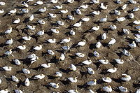 Nesting Gannets ( Morus serrator species) at t...