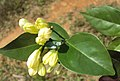 Murraya paniculata 07.JPG