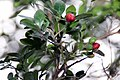 Murraya paniculata 4zz.jpg