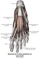 Muscles de la face plantaire du pied droit.png