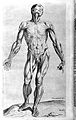 "Muscles in human body ""Compendiosa..."", T. Geminus, 1553 Wellcome L0002878.jpg"