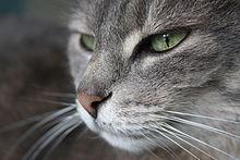 Muso di gatto europeo.JPG