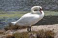 Mute Swan, UCSB.jpg