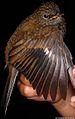 Myadestes ralloides (Andean Solitaire) (7135817679).jpg