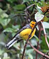 Myioborus ornatus Abanico cariblanco Golden-fronted Whitestart (11177747236).jpg