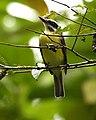 Myiodynastes hemichrysus -Costa Rica-8.jpg
