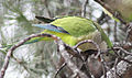 Myiopsitta monachus (Madrid, Spain) 14.jpg