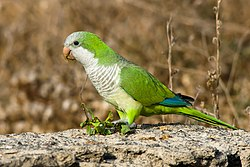 Myiopsitta monachus -Gran Canaria, Canary Islands, Spain-8.jpg