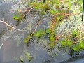 Myriophyllum aquaticum 0zz.jpg
