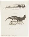 Myrmecophaga jubata - 1700-1880 - Print - Iconographia Zoologica - Special Collections University of Amsterdam - UBA01 IZ21000055.tif
