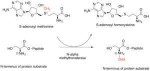 Methyltransferase - Representative scheme of reaction catalyzed by N-alpha methyltransferases, with representative substrate. The N-terminal residue that is modified is Serine.