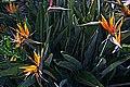 N20150401-0008—Strelitzia reginae—Berkeley (17016261515).jpg