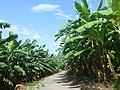 Naozhou - P1570856 - banana plantation.JPG