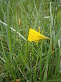Narcissus bulbocodium side-view.JPG