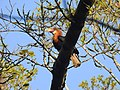 Narcondam Hornbill DSCN2147 10.jpg