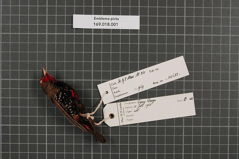 File:Naturalis Biodiversity Center - RMNH.AVES.54622 1 - Emblema picta Gould, 1842 - Estrildidae - bird skin specimen.jpeg