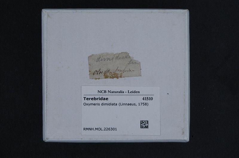 File:Naturalis Biodiversity Center - RMNH.MOL.226301 1 - Oxymeris dimidiata (Linnaeus, 1758) - Terebridae - Mollusc shell.jpeg