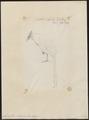 Neomorphus rufipennis - 1849 - Print - Iconographia Zoologica - Special Collections University of Amsterdam - UBA01 IZ18800207.tif