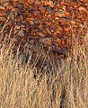 Neopsephotus bourkii henbury - Christopher Watson.jpg