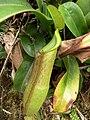 Nepenthes sanguinea2.jpg