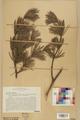 Neuchâtel Herbarium - Pinus sylvestris - NEU000003769.tif