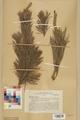 Neuchâtel Herbarium - Pinus sylvestris - NEU000003771.tif