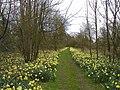 Newnham Paddox daffodils - geograph.org.uk - 1626036.jpg