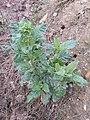 Nicotiana rustica sl1.jpg