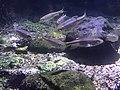 Nipponocypris koreanus, Danyang.jpg